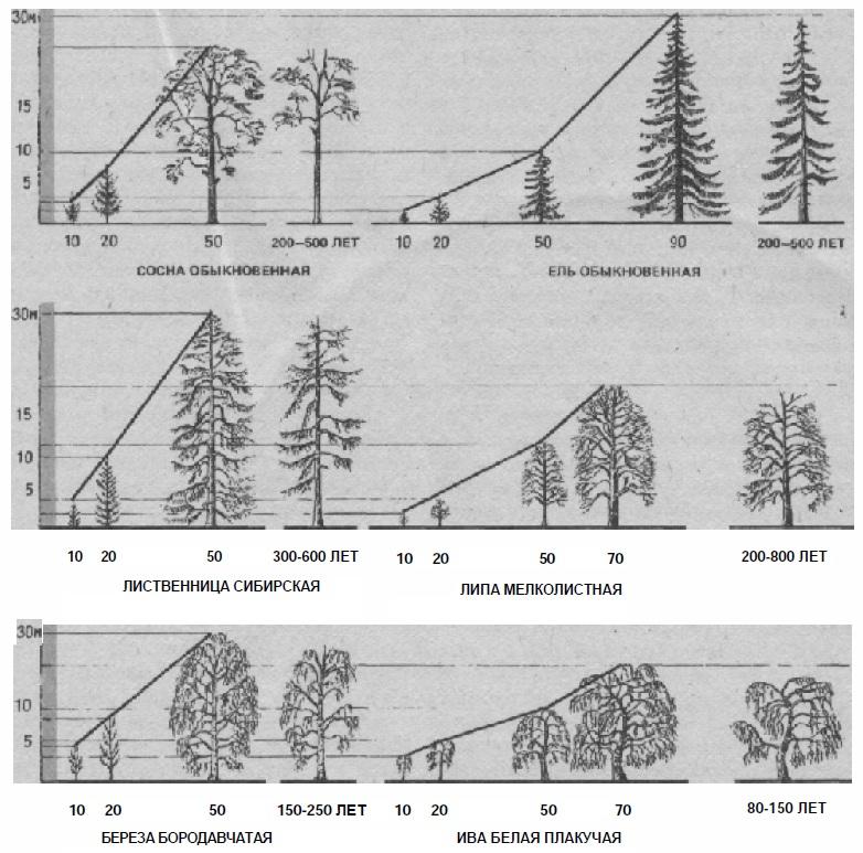 Изменение габитуса древесных пород на различных этапах формирования